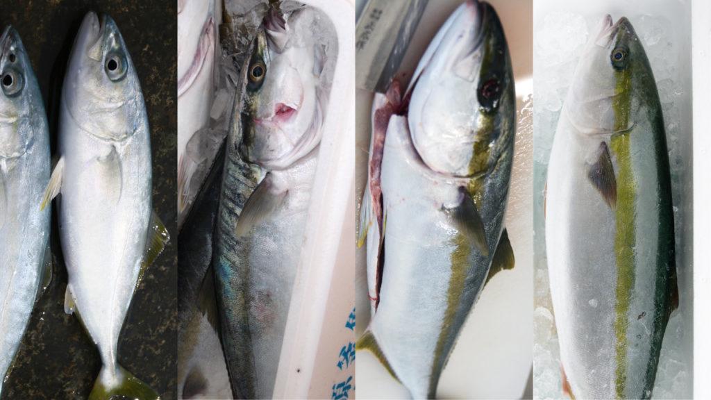 ブリ出世魚